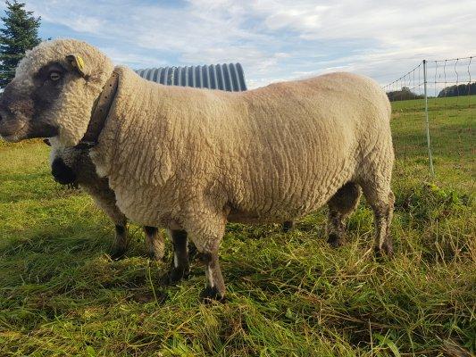 Shropshire Bock