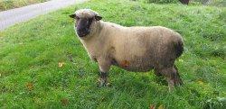 Kräftiger Shropshire Bock abzugeben