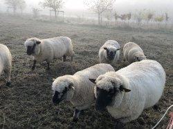 Schafscherer gesucht, bin auch für Tipps dankbar - Hilfe, uns wird zu warm! -