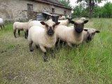 Shropshire Lämmer