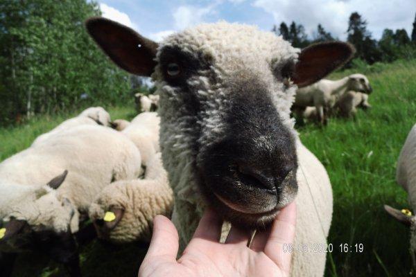 Shropshire Schafe, weiblich