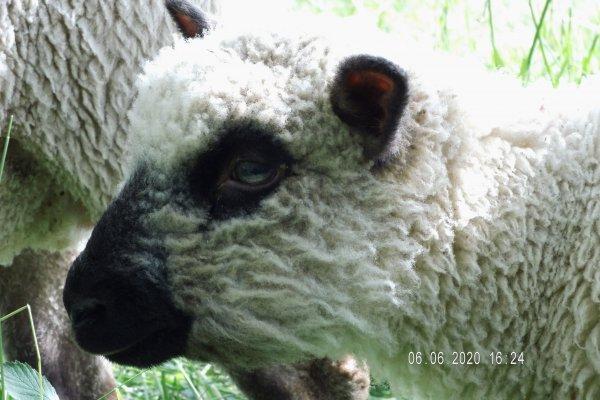 Lämmer Shropshire