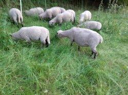 Mutterschaf mit Lamm aus Biobetrieb