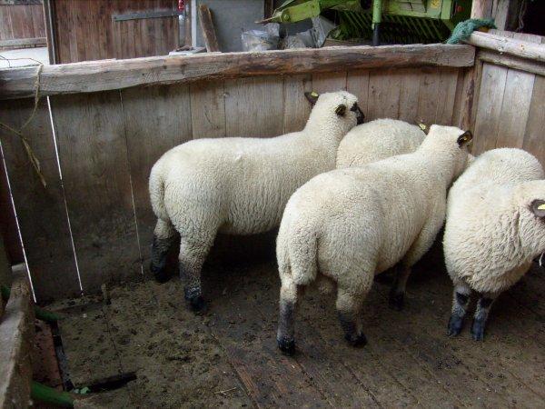 gekörte shropshireböcke sowie Schafe und Lämmer aus Herdbuchzucht zu verkaufen