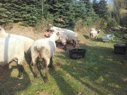 Shropshire Schafe in allen Altersklassen zu verkaufen