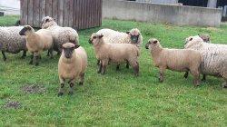 Bocklämmer und Weibliche Schafe