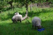 gekörte Shropshire Schafböcke